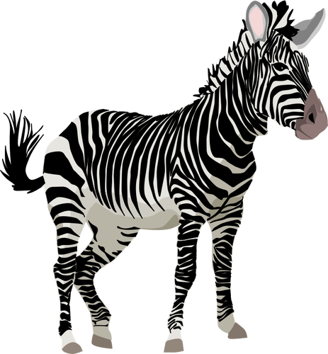 Zebra vector png. Graphics of color animal