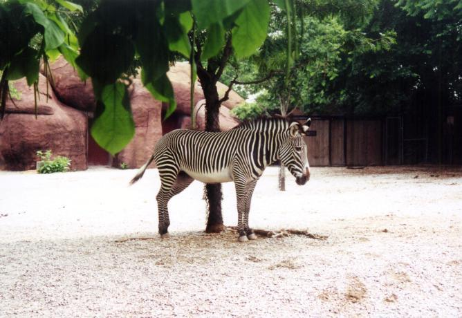 Zebramania faqs picture gallery. Zoo clipart zebra image transparent download